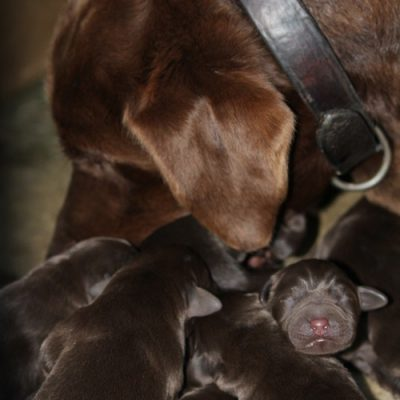 puppies Australia Free range
