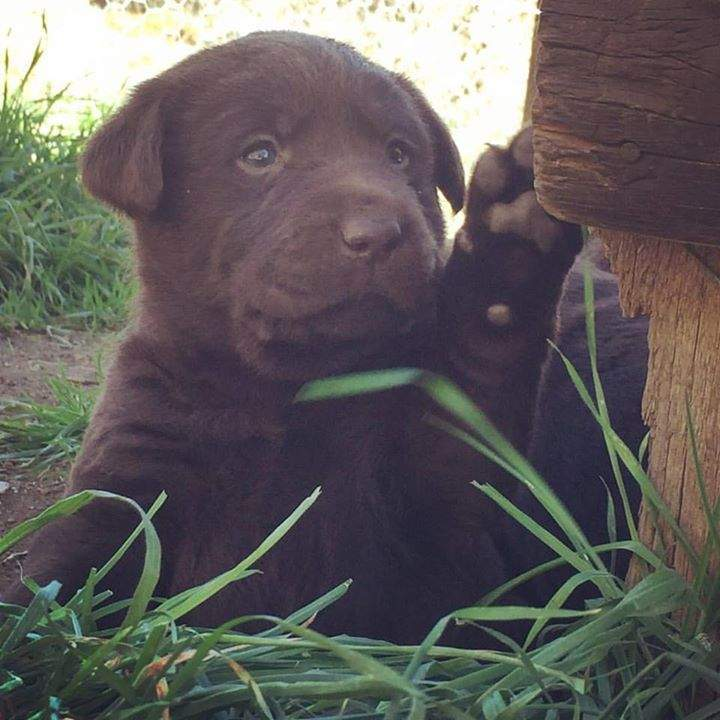 #chocolatelabpuppiesforsale ready for new homes 1st weekend August (8 weeks)