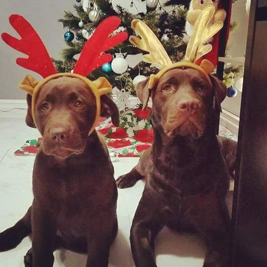 Merry Christmas from 2 Patonga Pups, Darby and Indi.  May you all have a wonderful Christmas full of laughs, happiness and good health.  #giveadogabone
