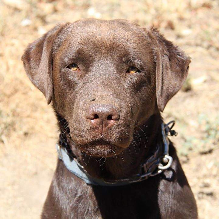 Diesel our beautiful chocolate Labrador sire / family pet is for sale, nearing 3 yrs old.  All necessary paperwork available on request. DM or call if interested #sire #forsale #chocolatelabrador
