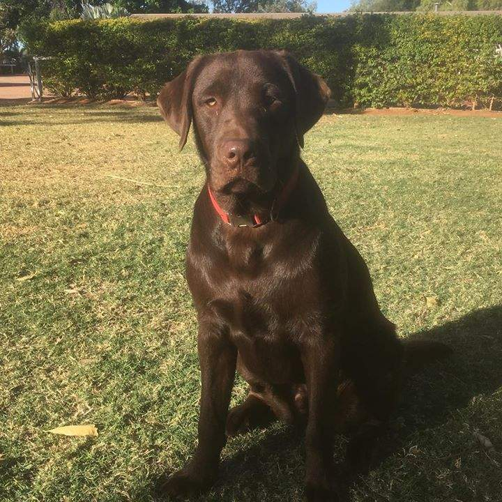 Turning 1 this month.  patongapup Max from his fabulous home at @barklyhomestead #outbackdogs #chocolatelabrador #bestmate #barklyhomestead