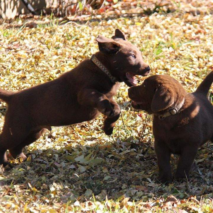 These guys are seriously hilarious! #choclabpuppies #entertainment #puppylove #siblingrivalry