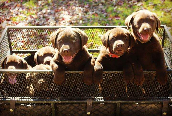 Generally #puppylove not always    #siblingrivalry #choclabpuppies