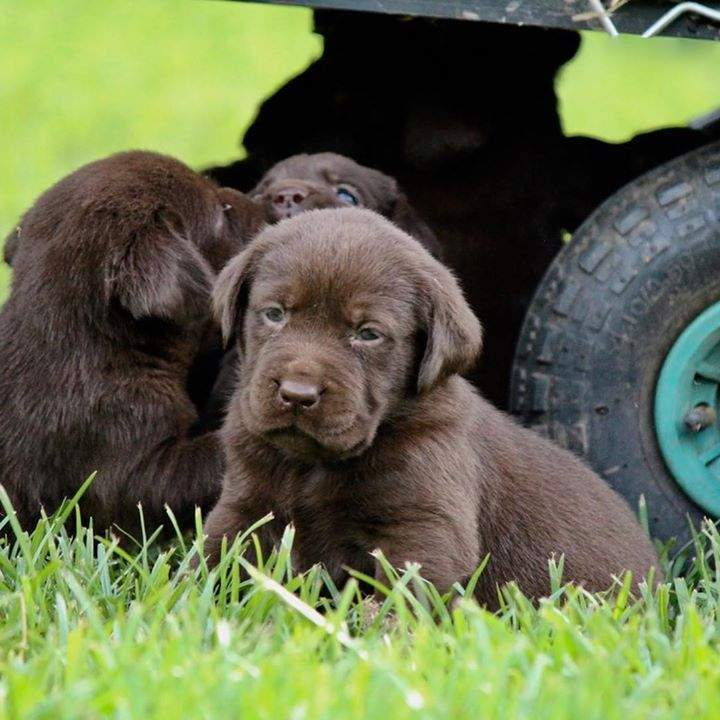 #puppylove #chocolatelab #farmlife #freerange