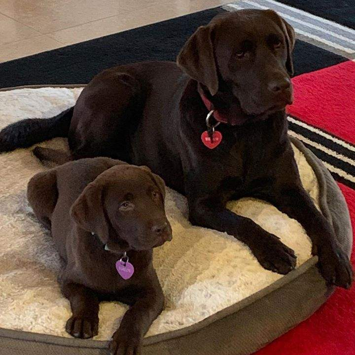 Beautiful Willow and Marlow.  2 Patonga Pups lucky enough to be living with an adorable family in the ACT #choclatelab #healthylifestyle #happydogs
