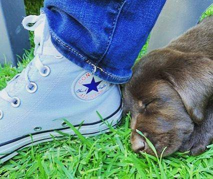 #sleepingbeauty #lifeofapuppy #converse #chocolatelab