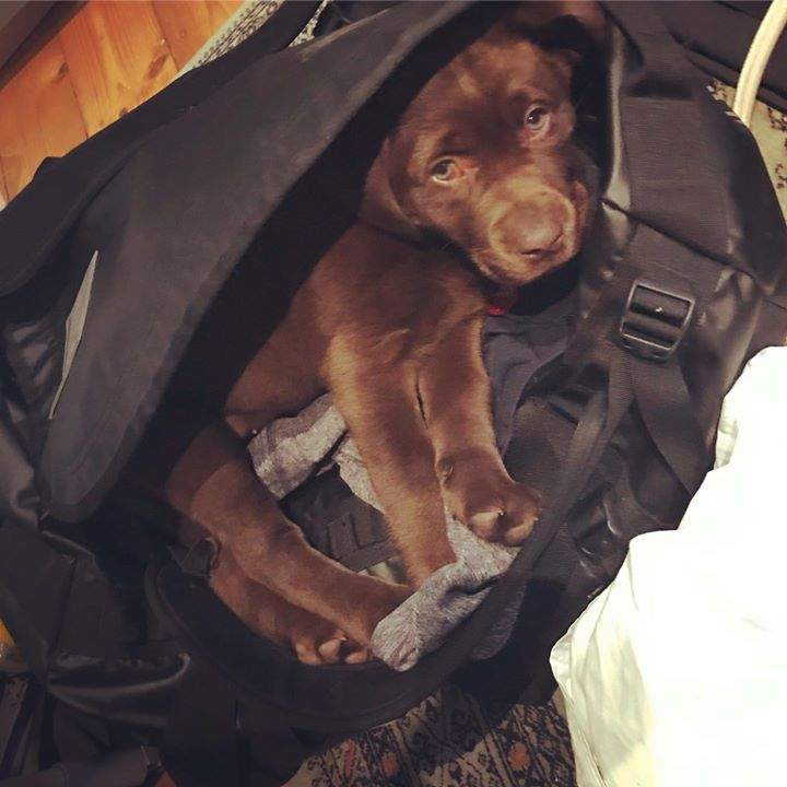 Little Banksia loving her new home and obviously not prepared to miss out on any adventure if she falls asleep!  #adventurepups #chocolatelab #brunosbestietobe #lovingfamiliesarethebest