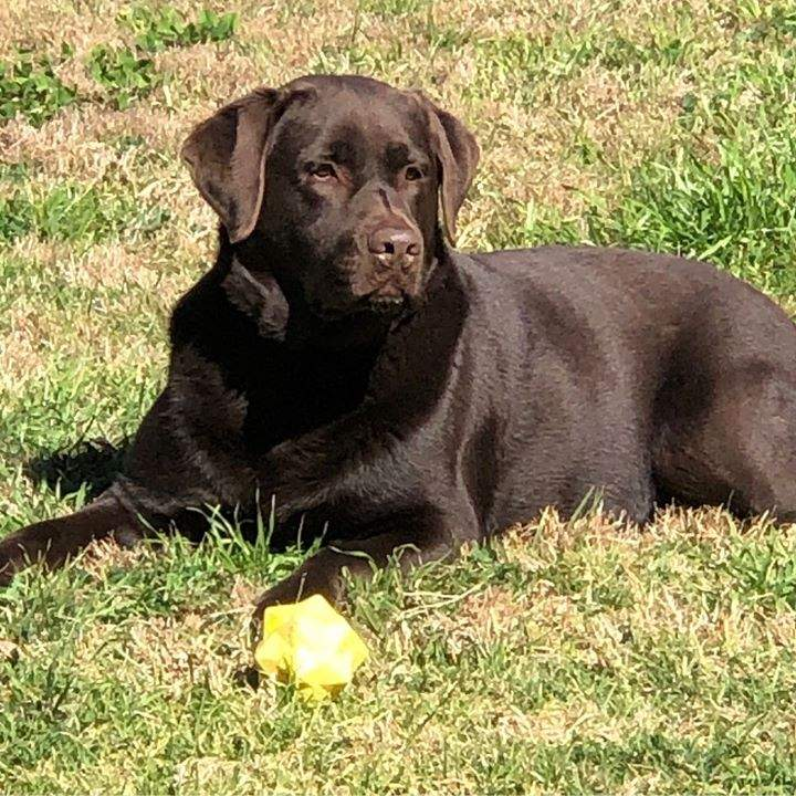 Beautiful photo of Patonga pup Reggie from his owners. Turning 4 next month #gorgeousboy #chocolatelab #awesomefamily #testimonial #thankyou
