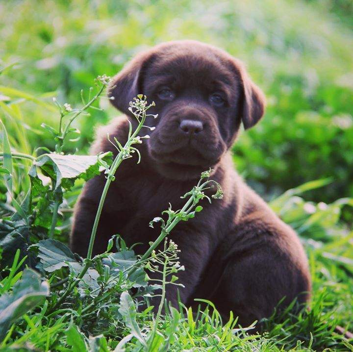#chocolate #labradorpuppies #homegrown #freerange  #sofun