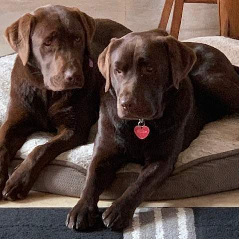 Always so nice to hear from Patonga Pups and their beautiful families. #thankyou 'Thought I would send you a photo of the two sisters, Marlow and Willow. The are great mates and Marlow just loooooves her big sister and Willow is such a patient soul. She should have been a Mum. They bring such joy to our family, so thank you to you and your lovely family for doing such a lovely job with your breeding. '