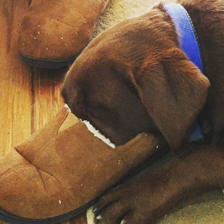 Patonga Pup doing it tough and so happy with his awesome new family #settledin #relaxed #loved #lucky #chocolatelab #nosewarmer